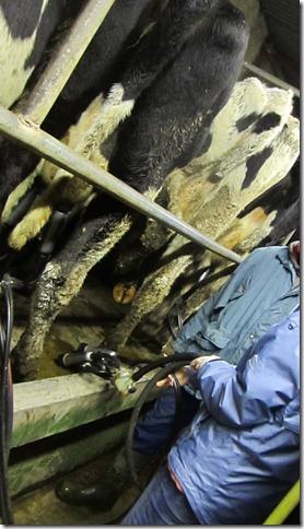 milkin cows 037