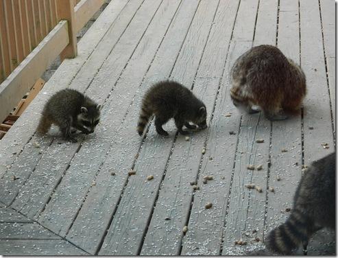 raccoons 2011 011