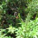 Long-jawed Orb Weaver