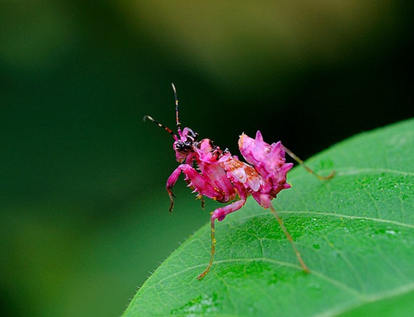 pink praying mantis 00