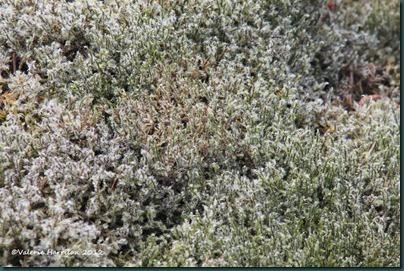 6-Woolly Fringe-moss (Racomitrium lanuginosum)