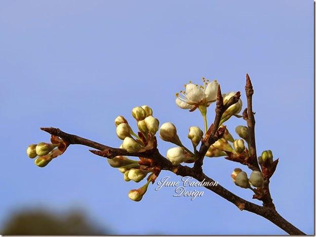 Pear_Blossom