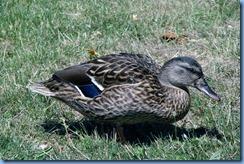4048 Indiana - Fort Wayne, IN - Best Western Luxbury Inn - in front of hotel - Mallard duck