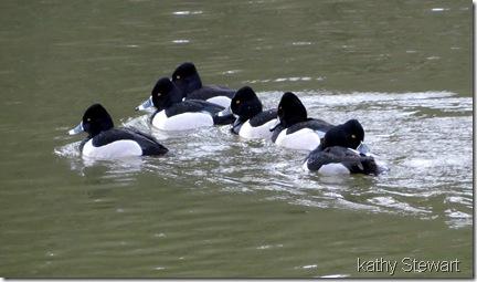 Male Ring-neck Ducks