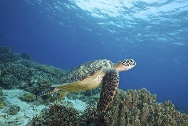 A sea turtle swims near a coral reef in the Pacific Ocean. Photo: Steve De Neef / Greenpeace / EPA