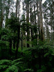May 21 - Tree ferns and eucalypts