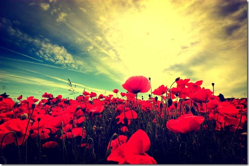 Poppy-Fields-5