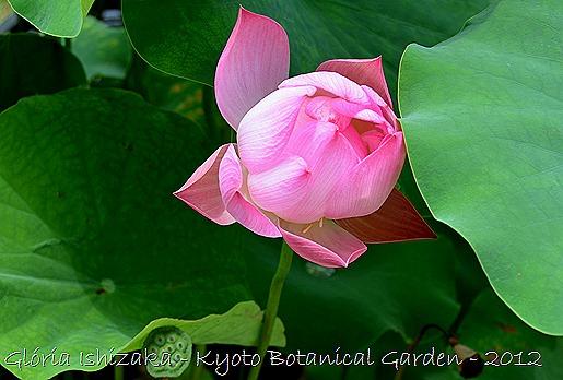 Glória Ishizaka - Flor de Lótus -  Kyoto Botanical Garden 2012 - 4