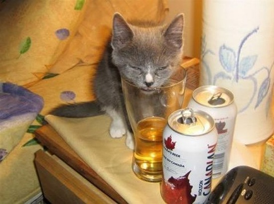 Can-cat-drink-alcohol-08