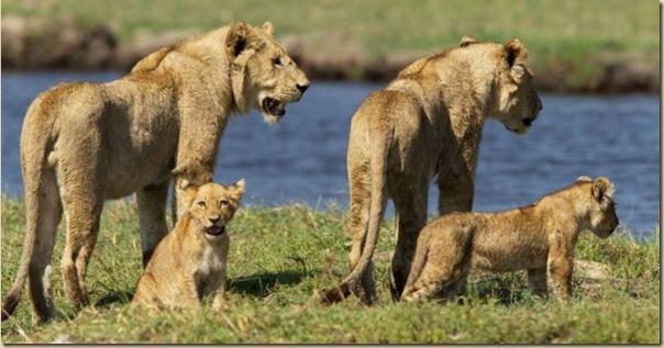 Le courage exeptionnel d'une lionne
