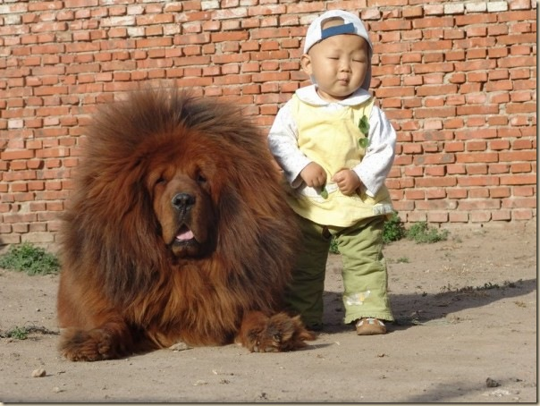 Dogue du Tibet ou Mastiff Tibétain 3