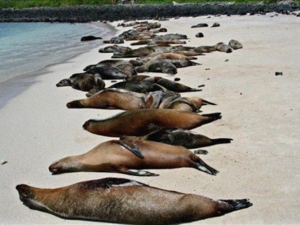 The bodies of sea lions, cormorants, and penguins were discovered on 12 May 2013 littering a seven mile stretch of beach in Punta de Choros, northern Chile. Police are investigating suspicions that the deaths were caused by local fishermen using explosives to increase catches (blast fishing). Photo: Sernapesca
