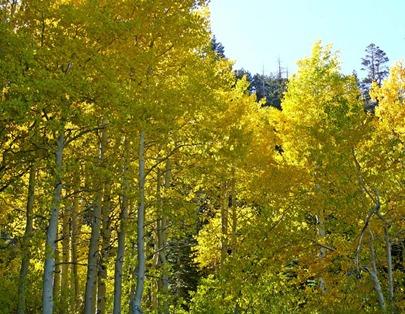 Tahoe Aspen