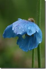 Meconopsis blue