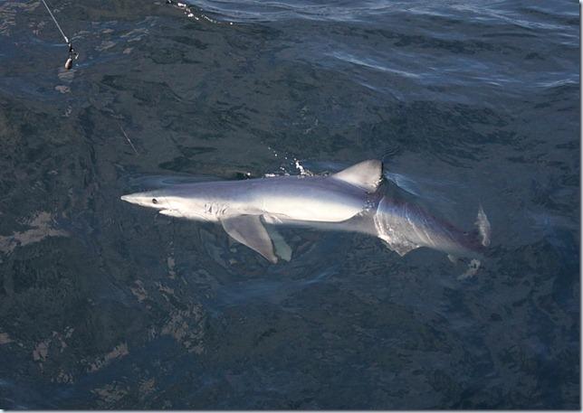 blue_shark2