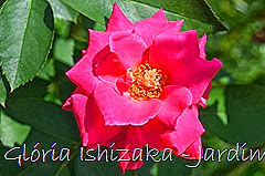 13   - Glória Ishizaka - Rosas do Jardim Botânico Nagai - Osaka