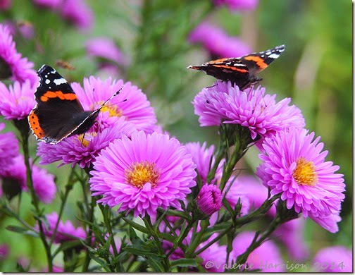 Red-admirals-close