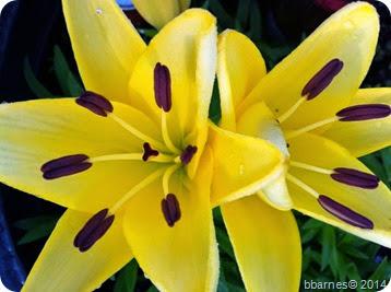 June 20 Lilies
