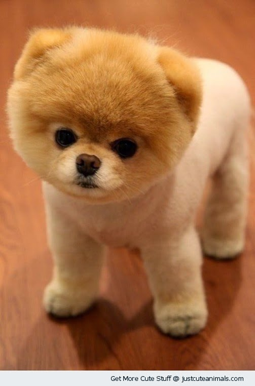 cute-animals-clipped-pomeranian-puppy-dog-pics