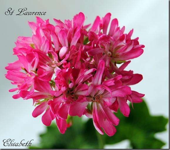 Pelargonium juni-11 002