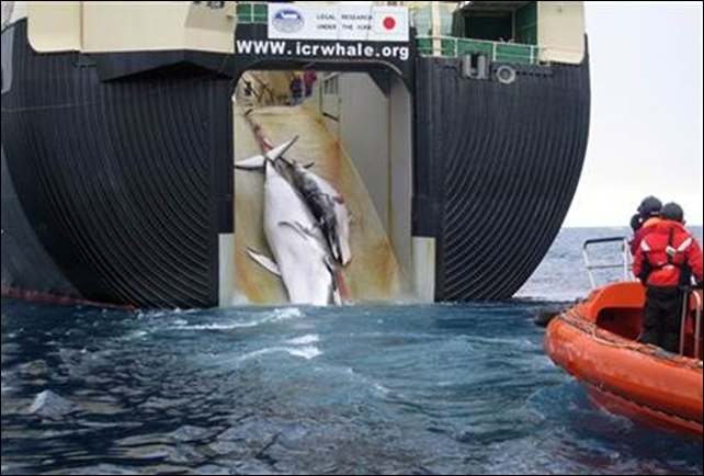 Australian government crew photographed this dead minke whale and her calf being hauled aboard a Japanese whaler in February 2008. Photo: Australian Customs Service / AP