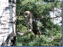2238 Manitoba Lake Audy Rd East Riding Mountain National Park - Great Gray Owl