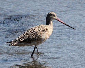 Beautiful Marbled Godwit - these birds were numerous here at Jetty Road at Moss Landing