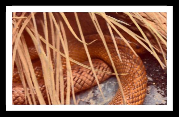 Inland Snake