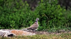 Matagorda Birding Center Eurasian collared dove