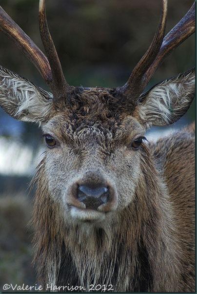 11-red-deer