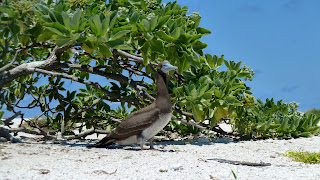 Brown Booby.