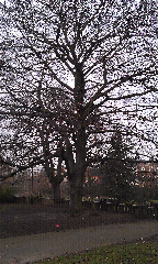 Fagus sylvatica - Beech Tree Ruskin Park