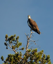 osprey, one of several patrolling the lake