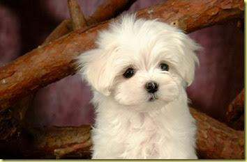 White-Cute-Puppy-640x400