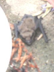 bat blurry4