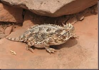 Amazing Pictures of Animals, photo, Nature, exotic, funny, incredibel Zoo, Horned lizard, Phrynosoma, Reptilia, Alex (13)