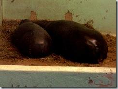 2008.05.26-008 hippopotames nains Aldo et Anaïs
