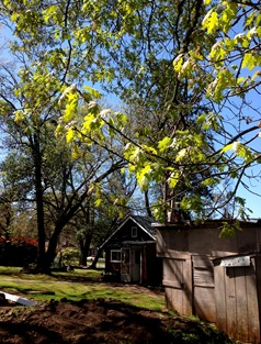 oaks leafing out at the cottage and potatoes in the dirt p8ile