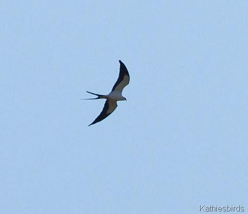 7. swallowtail kite-kab