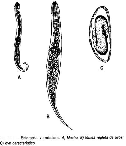 Enterobius vermicularis1