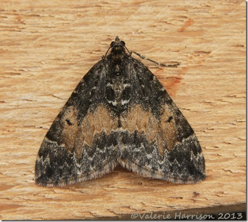 common-marbled-carpet