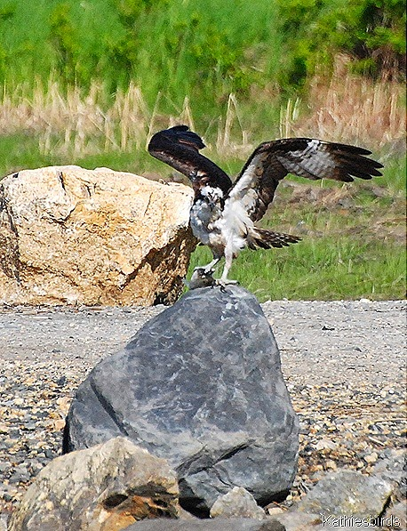 5. DSC_0422-osprey-kab