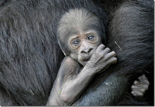 GERMANY-ANIMALS-GORILLA-BABY