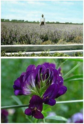 วีทกราสและอัลฟัลฟา พลัส  ( Wheatgrass & Alfalfa Plus)
