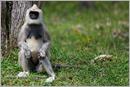 _P6A2103_grey_langur_monkey_mudumalai_bandipur_sanctuary