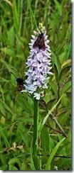 6 spot burnet  on orchid