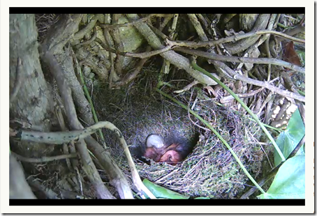 Robin chicks