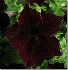 sophistica_blackberry_Petunia