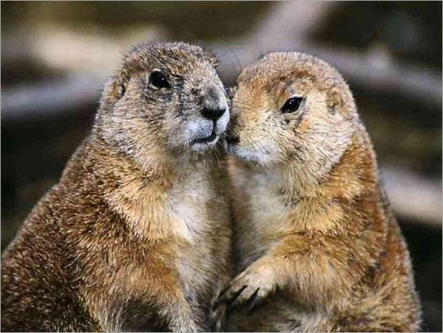 marmot twins Wallpaper__yvt2