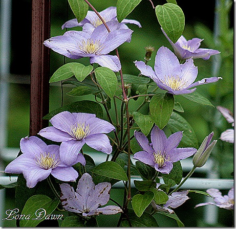 Silvermoon_Clematis_June14